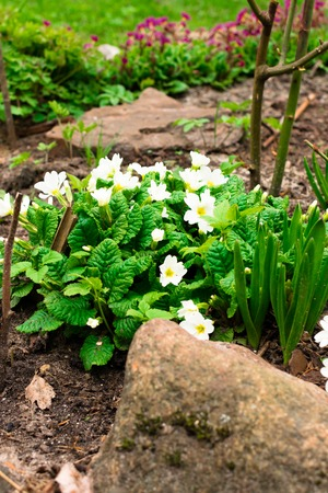 pretty small white flowers, green leafs. oxalis Background