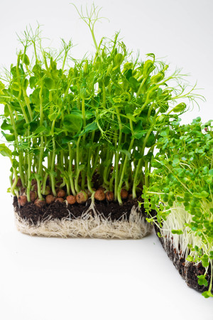 microgreen sprouts Raw sprouts, microgreens, healthy eating concept isolated on white