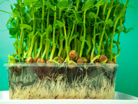 Organic pea micro sprouts growing in plastic box, health concept, fiber rich green food Stockfoto