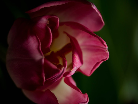 blurred tulip on green background. Copy space for the text. Greeting card for Womens Day or Mothers Day, close up