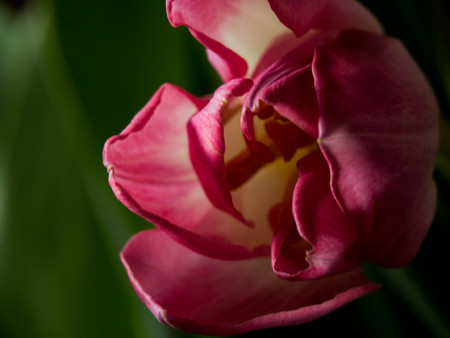 image of beautiful tulips on a green background, with copy space Imagens