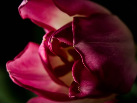 Still Life Tulip isolated on black background, copy space Imagens