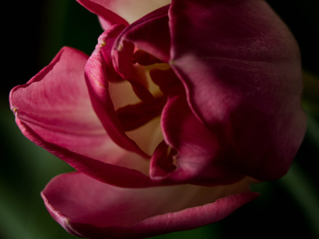 pink tulip flower blooming, blurred on black background season greeting card, spring background with copy space