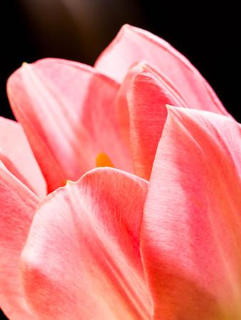 Beautiful pink tulips close-up macro shot, spring greeting card, blurred