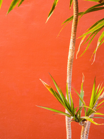 Living Coral color of the Year 2019. Background with palm in trendy color Stok Fotoğraf