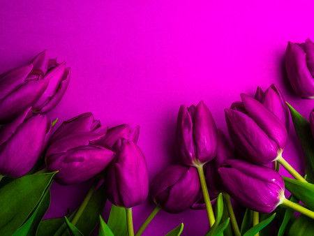 Beautiful bouquet of purple tulips, Liliaceae Lilieae tulipa, with green leaves isolated on purple, greeting card Stock Photo