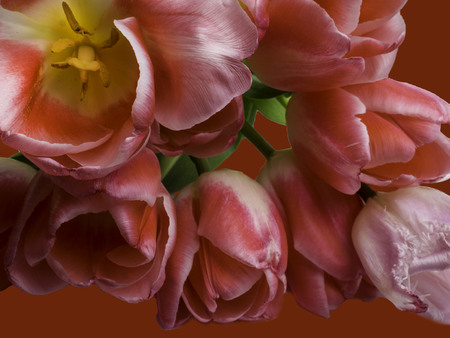 Group of elegant pink color springtime tulips . Congratulation card, greeting card concept close up