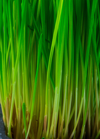 Close up of micro green sprouts, wheatgrass, superfood concept