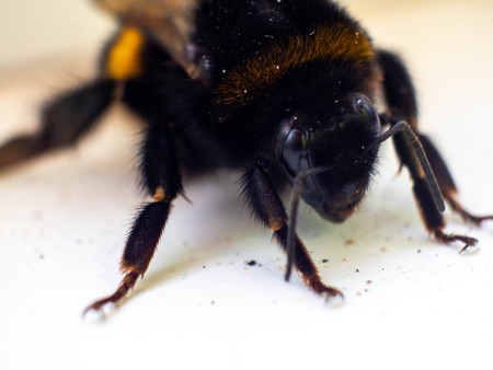 Single bee pictured from above, selective focus