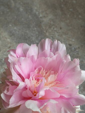 Pion, Pink gentle soft peony flower. Stylish flowers for March 8, Weeding, postcard, greeting card