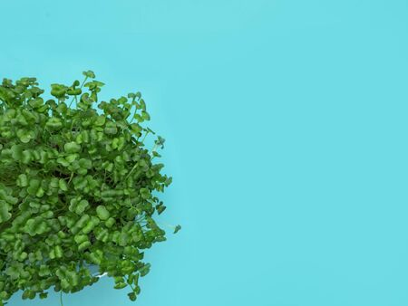 Ecologically clean food rich in fiber, vitamins, antixidants. Microgreen in plastic boxes, health food concept. Blue background. Raw sprout vegetables germinated from plant seeds. Copy space