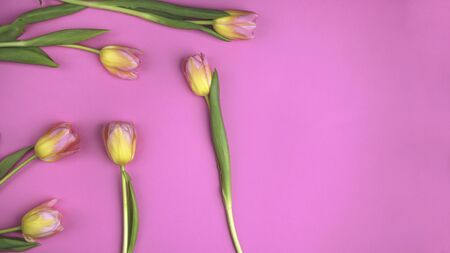 Beautiful floral pattern with yellow tulips, green leaves, on pink background. Flat lay, top view. Spring holiday concept. Banner