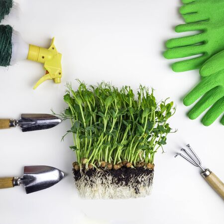 Set of gardening tools, as shovel, rake, atomizer, healthy microgreen with soil, green gloves. Summer garden works concept. Copy space