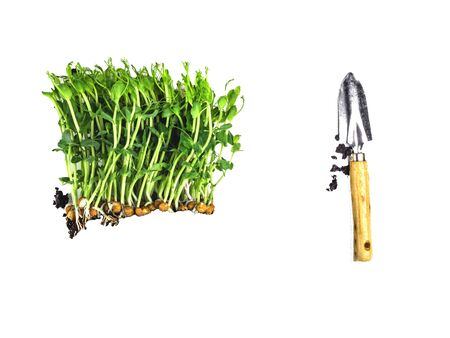 creative composition of raw sprouts of peas microgreen isolated on white, with soil, gardening and farming concept. Healthy eating