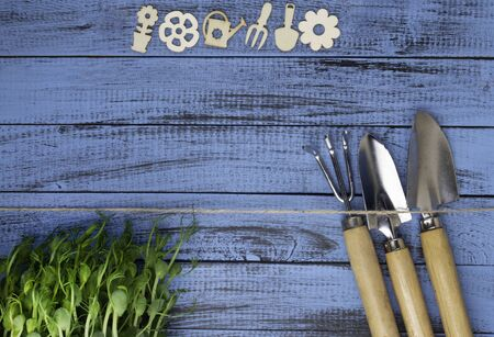 gardening tools, microgreen on blue wooden background, gardening concept, copy space Stock Photo