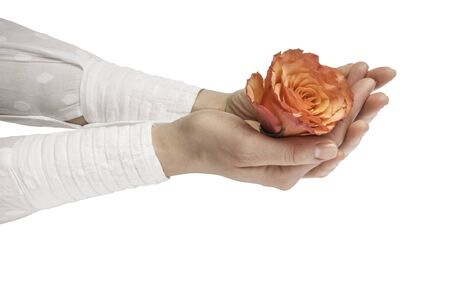 orange rose in women hands with manicure on white background