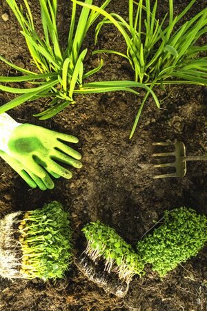microgreens seedlings in soil with gardening green gloves, hoe, healthy organic food concept
