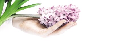 A beautiful women hand holds a fresh pink hyacinth flower on a white background. Side view. March 8, women's day holiday card. Spa and womens theme concept Copy space. Horizontal orientation. Stok Fotoğraf