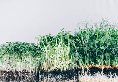Growing microgreens sprouts on white background, assortment of baby sprouts, mockup for healthy clean eating, source of antioxidants, vitamin, fiber, and veggie protein. Copy space