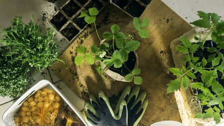 Potted set of vegetable, microssprouts and berries fresh seedlings growing in biodegradable peat moss pots with sunny lights, on wooden table. Top view. For web template, agriculture store. Gardening. Selective focus. Close up Imagens