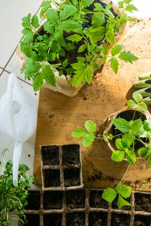 Potted set of vegetable, microssprouts and berries fresh seedlings growing in biodegradable peat moss pots with sunny lights, on wooden table. Top view. For web template, agriculture store. Gardening. Selective focus
