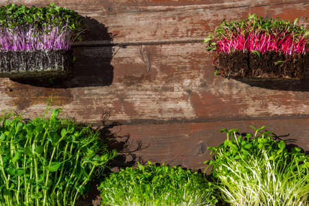 microgreens sprouts on wooden background, vegetable greens. Healthy eating concept rich in fiber, vitamin and antioxidants, copy space