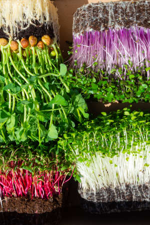 raw microgreen mixed sprouts, radishes, mustard, arugula, mustard, pea. Super food. Assortment of baby sprouts. Healthy eating concept rich in fiber, vitamin and antioxidants Reklamní fotografie