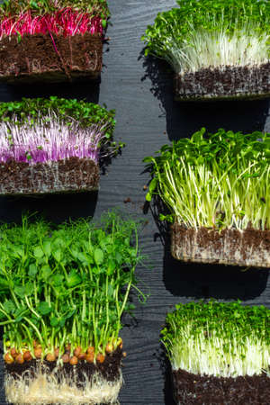 microgreens sprouts on wooden background, vegetable greens. Healthy eating concept rich in fiber, vitamin and antioxidants