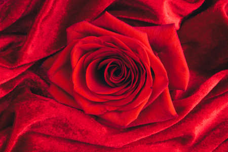 Red gorgeous red Rose, macro on velvet velours texture, passion beauty and love concept. Floral decor. Selective focus
