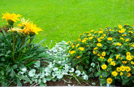 Bright yellow daisy flowers on green background, nature in garden