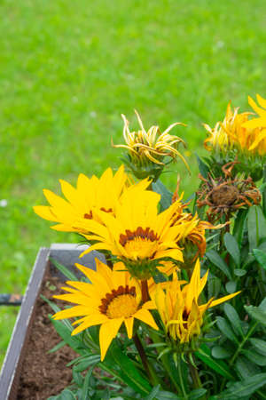 Bright trendy yellow rudbeckia or Black Eyed Susan flowers in the green grass background, selective focus Stock fotó