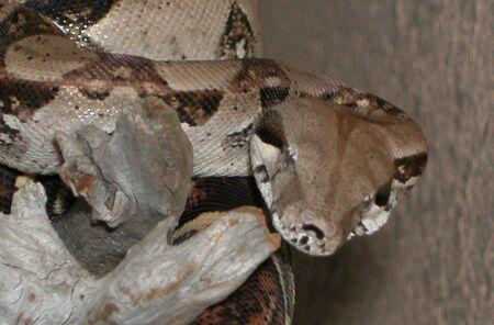 Colombiaanse Redtail Boa