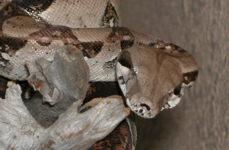 redtail: Columbian Redtail Boa