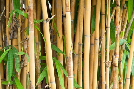 Bamboo background in the garden photo