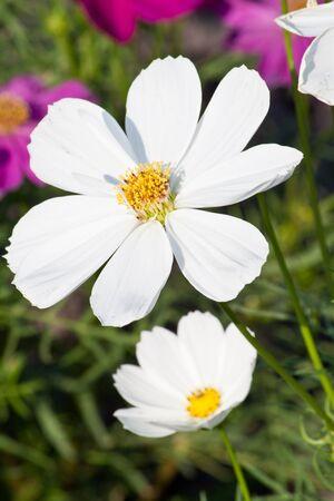 White cosmo flower on the garden stock photo picture and royalty stock photo white cosmo flower on the garden mightylinksfo
