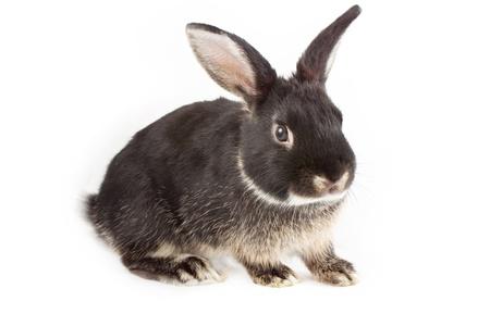 Black Rabbit on white background Stock Photo