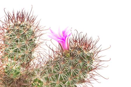 Cactus with beautiful pink flower on white isolated photo