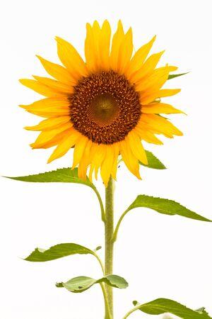 Sunflower isolated on white background Stock Photo - 9560918
