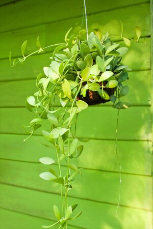 Hanging green plant in the garden photo