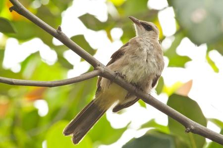 Bulbul bird on the tree photo
