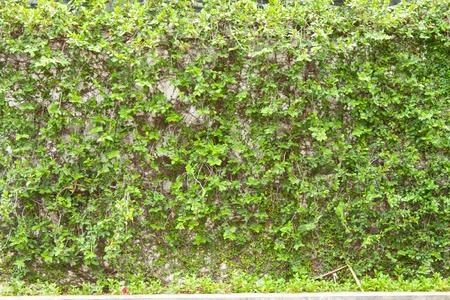 Green climbling tree on white wall photo