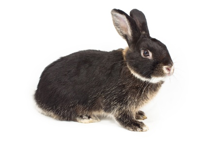 Cute black rabbit on white background