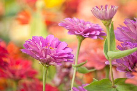 Zinnia flower in the garden photo