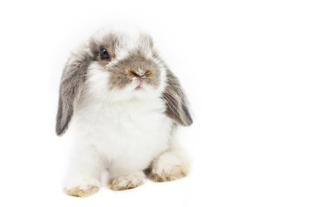lop: Young Holland Lop rabbit on white background