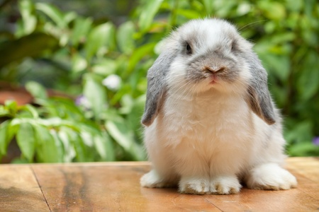Cute holland lop rabbit standing at outdoor Stock Photo