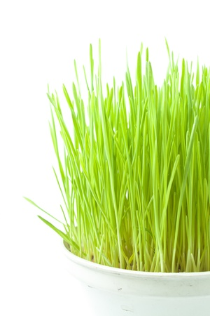 Green wheat grass in old  white  plastic  pot on  white
