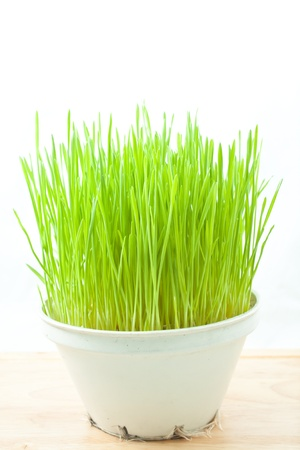 Green wheat grass in old  white  plastic  pot on  wood floor