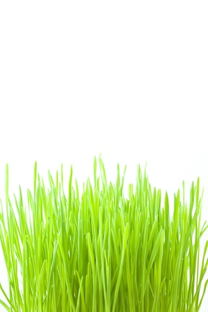 Green wheat grass on white photo