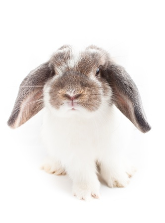 Holland lop Rabbit on white background photo