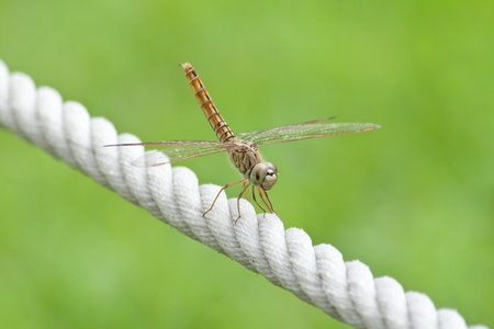 Beautiful dragonfly on the white rope  in  grass  field photo